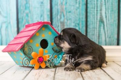 puppy43 week4 BowTiePomsky.com Bowtie Pomsky Puppy For Sale Husky Pomeranian Mini Dog Spokane WA Breeder Blue Eyes Pomskies web1