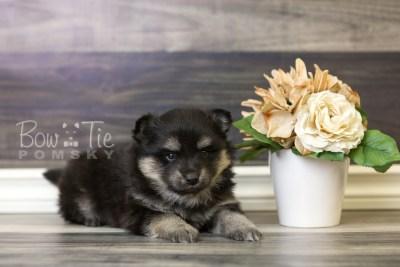 puppy43 week6 BowTiePomsky.com Bowtie Pomsky Puppy For Sale Husky Pomeranian Mini Dog Spokane WA Breeder Blue Eyes Pomskies web4