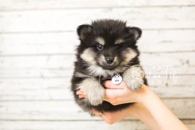 puppy43 week8 BowTiePomsky.com Bowtie Pomsky Puppy For Sale Husky Pomeranian Mini Dog Spokane WA Breeder Blue Eyes Pomskies web6