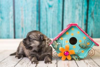 puppy44 week4 BowTiePomsky.com Bowtie Pomsky Puppy For Sale Husky Pomeranian Mini Dog Spokane WA Breeder Blue Eyes Pomskies web1