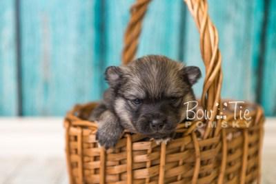 puppy44 week4 BowTiePomsky.com Bowtie Pomsky Puppy For Sale Husky Pomeranian Mini Dog Spokane WA Breeder Blue Eyes Pomskies web2