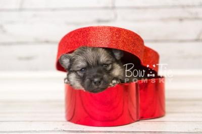 puppy44 week4 BowTiePomsky.com Bowtie Pomsky Puppy For Sale Husky Pomeranian Mini Dog Spokane WA Breeder Blue Eyes Pomskies web3