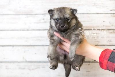 puppy44 week6 BowTiePomsky.com Bowtie Pomsky Puppy For Sale Husky Pomeranian Mini Dog Spokane WA Breeder Blue Eyes Pomskies web2