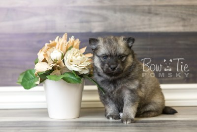puppy44 week6 BowTiePomsky.com Bowtie Pomsky Puppy For Sale Husky Pomeranian Mini Dog Spokane WA Breeder Blue Eyes Pomskies web4