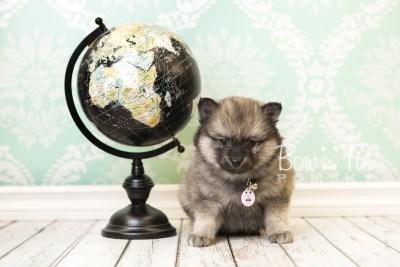 puppy44 week8 BowTiePomsky.com Bowtie Pomsky Puppy For Sale Husky Pomeranian Mini Dog Spokane WA Breeder Blue Eyes Pomskies web2