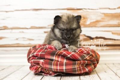 puppy44 week8 BowTiePomsky.com Bowtie Pomsky Puppy For Sale Husky Pomeranian Mini Dog Spokane WA Breeder Blue Eyes Pomskies web3