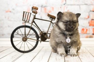 puppy44 week8 BowTiePomsky.com Bowtie Pomsky Puppy For Sale Husky Pomeranian Mini Dog Spokane WA Breeder Blue Eyes Pomskies web6
