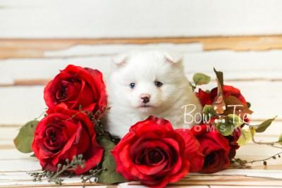 BowTie Pomsky_web-6240