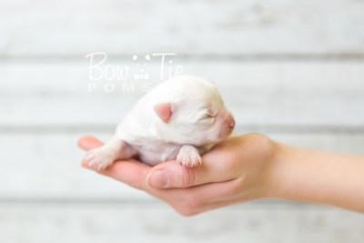 puppy45 week1 BowTiePomsky.com Bowtie Pomsky Puppy For Sale Husky Pomeranian Mini Dog Spokane WA Breeder Blue Eyes Pomskies Bow Tie Pumsky_web-4199