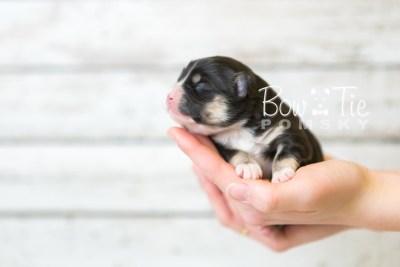 puppy46 week1 BowTiePomsky.com Bowtie Pomsky Puppy For Sale Husky Pomeranian Mini Dog Spokane WA Breeder Blue Eyes Pomskies Bow Tie Pumsky_web-4202