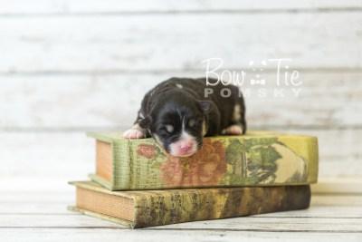 puppy46 week1 BowTiePomsky.com Bowtie Pomsky Puppy For Sale Husky Pomeranian Mini Dog Spokane WA Breeder Blue Eyes Pomskies Bow Tie Pumsky_web-4217