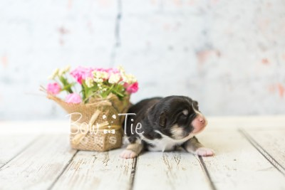 puppy46 week1 BowTiePomsky.com Bowtie Pomsky Puppy For Sale Husky Pomeranian Mini Dog Spokane WA Breeder Blue Eyes Pomskies Bow Tie Pumsky_web-4220