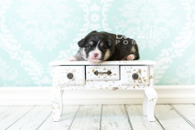 puppy46 week3 BowTiePomsky.com Bowtie Pomsky Puppy For Sale Husky Pomeranian Mini Dog Spokane WA Breeder Blue Eyes Pomskies web1