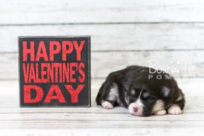 puppy46 week3 BowTiePomsky.com Bowtie Pomsky Puppy For Sale Husky Pomeranian Mini Dog Spokane WA Breeder Blue Eyes Pomskies web4