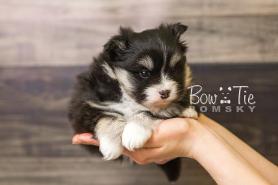 puppy46 week5 BowTiePomsky.com Bowtie Pomsky Puppy For Sale Husky Pomeranian Mini Dog Spokane WA Breeder Blue Eyes Pomskies web6