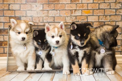 puppy47-51 week7 BowTiePomsky.com Bowtie Pomsky Puppy For Sale Husky Pomeranian Mini Dog Spokane WA Breeder Blue Eyes Pomskies web1