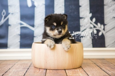 puppy47 week5 BowTiePomsky.com Bowtie Pomsky Puppy For Sale Husky Pomeranian Mini Dog Spokane WA Breeder Blue Eyes Pomskies web1
