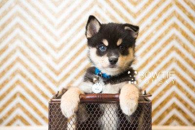 puppy47 week7 BowTiePomsky.com Bowtie Pomsky Puppy For Sale Husky Pomeranian Mini Dog Spokane WA Breeder Blue Eyes Pomskies web2