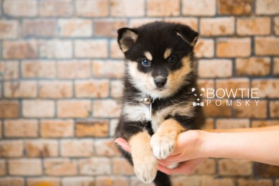 puppy47 week7 BowTiePomsky.com Bowtie Pomsky Puppy For Sale Husky Pomeranian Mini Dog Spokane WA Breeder Blue Eyes Pomskies web4