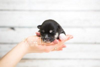 puppy48 week1 BowTiePomsky.com Bowtie Pomsky Puppy For Sale Husky Pomeranian Mini Dog Spokane WA Breeder Blue Eyes Pomskies web1