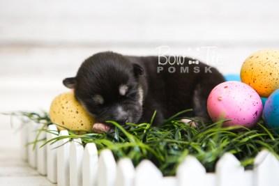 puppy48 week1 BowTiePomsky.com Bowtie Pomsky Puppy For Sale Husky Pomeranian Mini Dog Spokane WA Breeder Blue Eyes Pomskies web2