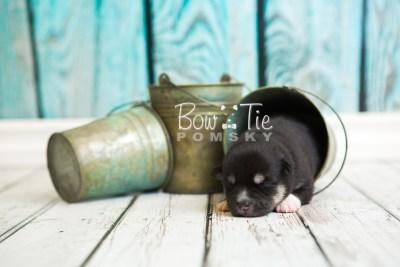 puppy48 week1 BowTiePomsky.com Bowtie Pomsky Puppy For Sale Husky Pomeranian Mini Dog Spokane WA Breeder Blue Eyes Pomskies web5
