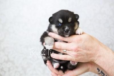 puppy48 week3 BowTiePomsky.com Bowtie Pomsky Puppy For Sale Husky Pomeranian Mini Dog Spokane WA Breeder Blue Eyes Pomskies web1