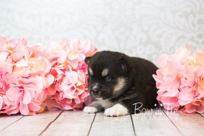 puppy48 week3 BowTiePomsky.com Bowtie Pomsky Puppy For Sale Husky Pomeranian Mini Dog Spokane WA Breeder Blue Eyes Pomskies web2