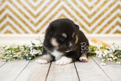 puppy48 week3 BowTiePomsky.com Bowtie Pomsky Puppy For Sale Husky Pomeranian Mini Dog Spokane WA Breeder Blue Eyes Pomskies web5