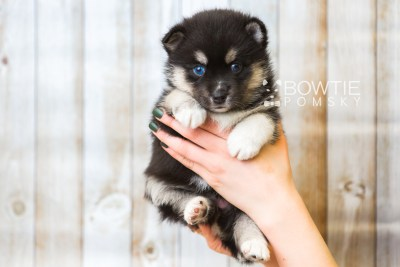 puppy48 week5 BowTiePomsky.com Bowtie Pomsky Puppy For Sale Husky Pomeranian Mini Dog Spokane WA Breeder Blue Eyes Pomskies web1