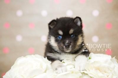 puppy48 week5 BowTiePomsky.com Bowtie Pomsky Puppy For Sale Husky Pomeranian Mini Dog Spokane WA Breeder Blue Eyes Pomskies web2