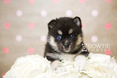puppy48 week5 BowTiePomsky.com Bowtie Pomsky Puppy For Sale Husky Pomeranian Mini Dog Spokane WA Breeder Blue Eyes Pomskies web2