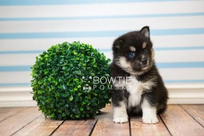 puppy48 week5 BowTiePomsky.com Bowtie Pomsky Puppy For Sale Husky Pomeranian Mini Dog Spokane WA Breeder Blue Eyes Pomskies web4