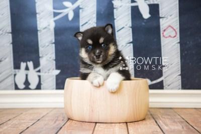 puppy48 week5 BowTiePomsky.com Bowtie Pomsky Puppy For Sale Husky Pomeranian Mini Dog Spokane WA Breeder Blue Eyes Pomskies web6