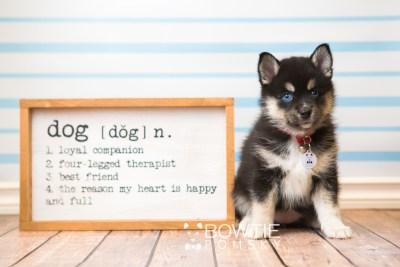 puppy48 week7 BowTiePomsky.com Bowtie Pomsky Puppy For Sale Husky Pomeranian Mini Dog Spokane WA Breeder Blue Eyes Pomskies web2