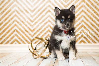 puppy48 week7 BowTiePomsky.com Bowtie Pomsky Puppy For Sale Husky Pomeranian Mini Dog Spokane WA Breeder Blue Eyes Pomskies web6