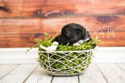 puppy49 week1 BowTiePomsky.com Bowtie Pomsky Puppy For Sale Husky Pomeranian Mini Dog Spokane WA Breeder Blue Eyes Pomskies web3