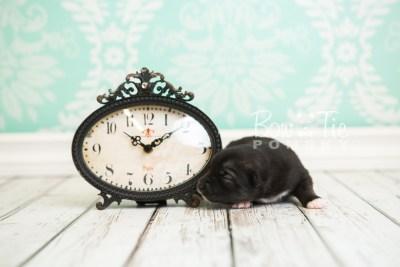 puppy49 week1 BowTiePomsky.com Bowtie Pomsky Puppy For Sale Husky Pomeranian Mini Dog Spokane WA Breeder Blue Eyes Pomskies web4