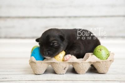 puppy49 week1 BowTiePomsky.com Bowtie Pomsky Puppy For Sale Husky Pomeranian Mini Dog Spokane WA Breeder Blue Eyes Pomskies web5