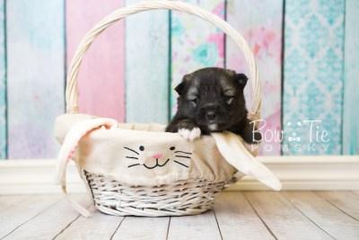 puppy49 week3 BowTiePomsky.com Bowtie Pomsky Puppy For Sale Husky Pomeranian Mini Dog Spokane WA Breeder Blue Eyes Pomskies web1