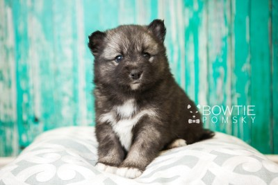 puppy49 week5 BowTiePomsky.com Bowtie Pomsky Puppy For Sale Husky Pomeranian Mini Dog Spokane WA Breeder Blue Eyes Pomskies web2
