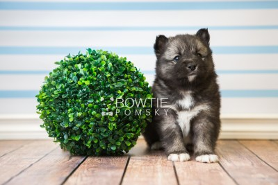puppy49 week5 BowTiePomsky.com Bowtie Pomsky Puppy For Sale Husky Pomeranian Mini Dog Spokane WA Breeder Blue Eyes Pomskies web3