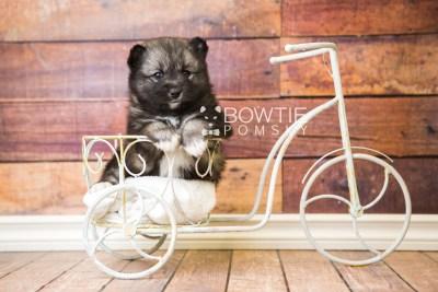 puppy49 week5 BowTiePomsky.com Bowtie Pomsky Puppy For Sale Husky Pomeranian Mini Dog Spokane WA Breeder Blue Eyes Pomskies web4