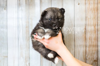 puppy49 week5 BowTiePomsky.com Bowtie Pomsky Puppy For Sale Husky Pomeranian Mini Dog Spokane WA Breeder Blue Eyes Pomskies web6