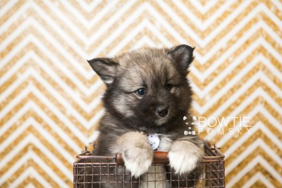 puppy49 week7 BowTiePomsky.com Bowtie Pomsky Puppy For Sale Husky Pomeranian Mini Dog Spokane WA Breeder Blue Eyes Pomskies web2