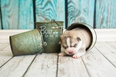 puppy50 week1 BowTiePomsky.com Bowtie Pomsky Puppy For Sale Husky Pomeranian Mini Dog Spokane WA Breeder Blue Eyes Pomskies web3
