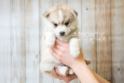 puppy50 week5 BowTiePomsky.com Bowtie Pomsky Puppy For Sale Husky Pomeranian Mini Dog Spokane WA Breeder Blue Eyes Pomskies web1