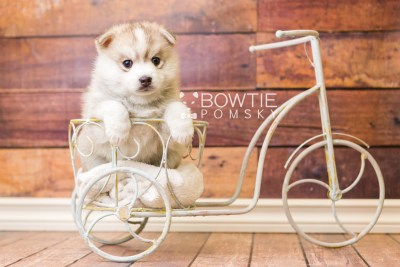 puppy50 week5 BowTiePomsky.com Bowtie Pomsky Puppy For Sale Husky Pomeranian Mini Dog Spokane WA Breeder Blue Eyes Pomskies web3