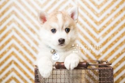 puppy50 week7 BowTiePomsky.com Bowtie Pomsky Puppy For Sale Husky Pomeranian Mini Dog Spokane WA Breeder Blue Eyes Pomskies web6
