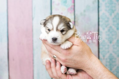 puppy51 week3 BowTiePomsky.com Bowtie Pomsky Puppy For Sale Husky Pomeranian Mini Dog Spokane WA Breeder Blue Eyes Pomskies web1